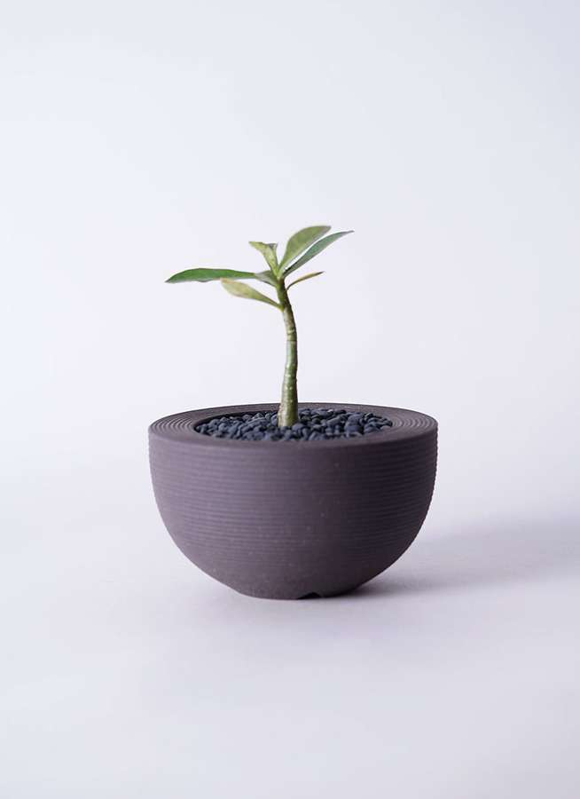 多肉植物 アデニウム オベスム 3号 Hemisphere 【M size】
