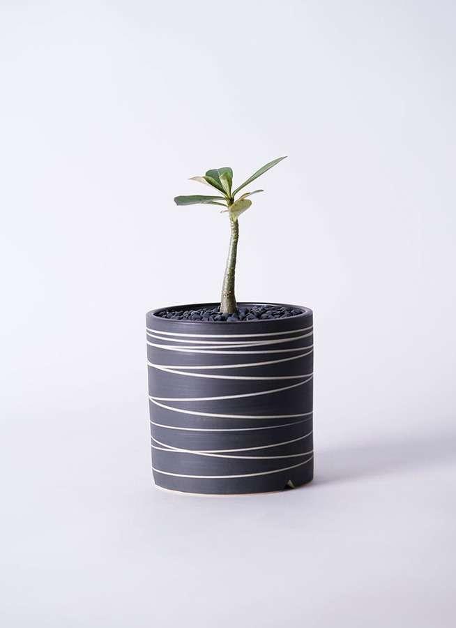 多肉植物 アデニウム オベスム 3号 Kross 【L size】