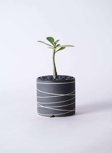 多肉植物 アデニウム オベスム 3号 Kross 【M size】