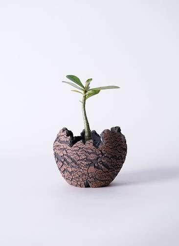 多肉植物 アデニウム オベスム 3号 Type01 fang 【S size】