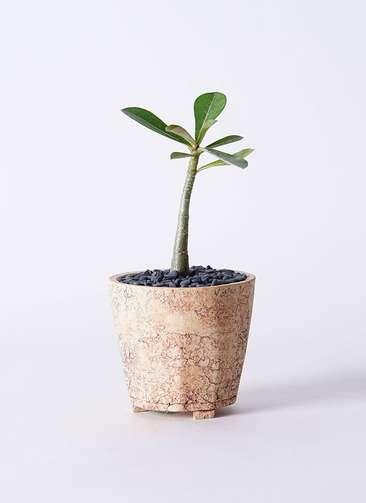 多肉植物 アデニウム オベスム 3号 Type02 desert #β 【M size】