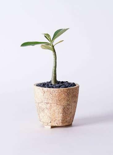 多肉植物 アデニウム オベスム 3号 Type02 desert #β 【S size】