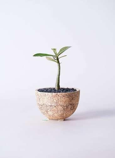多肉植物 アデニウム オベスム 3号 Type02 desert #γ 【S size】