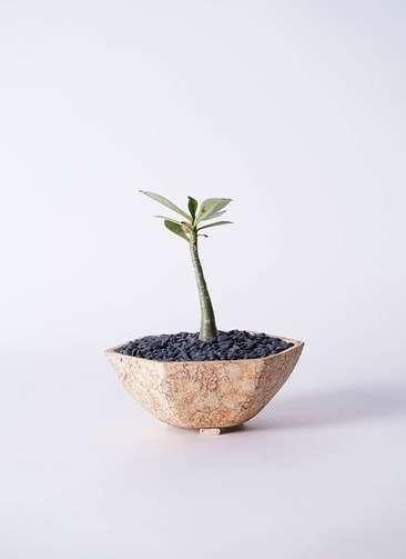 多肉植物 アデニウム オベスム 3号 Type02 desert #δ 【L size】