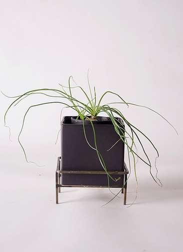 多肉植物 オーニソガラム カウダツム 3号 Iron Stand Pot C5303 付き