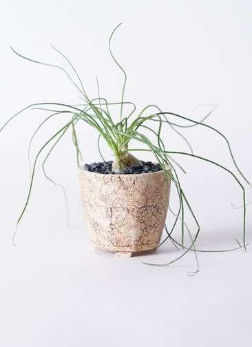 多肉植物 オーニソガラム カウダツム 3号 Type02 desert #β 【S size】