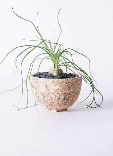 多肉植物 オーニソガラム カウダツム 3号 Type02 desert #γ 【S size】