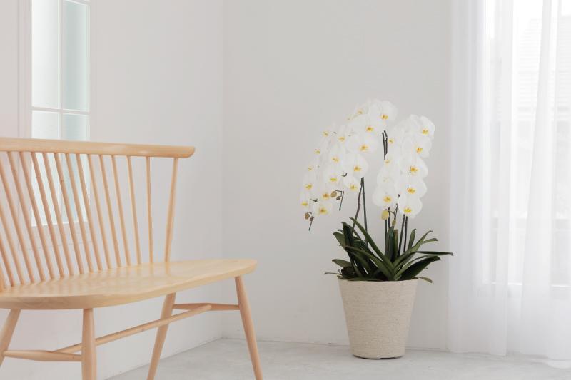 お祝いの胡蝶蘭を贈るタイミングは?