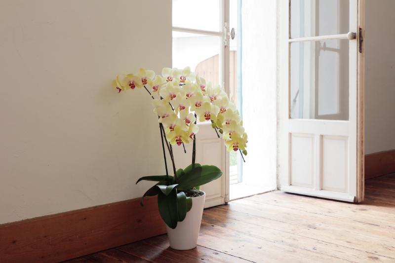 お祝いの胡蝶蘭の一般的な相場は?
