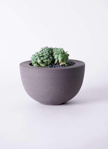 多肉植物 エケベリア セクンダ綴化(てっか) 3号 Hemisphere 【L size】