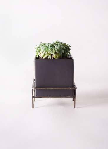 多肉植物 エケベリア セクンダ綴化(てっか) 3号 Iron Stand Pot C5303 付き
