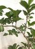 観葉植物 【1都3県 限定配送】 【200cm】フィカス アフリカンプリンス 10号  #22556 4枚目