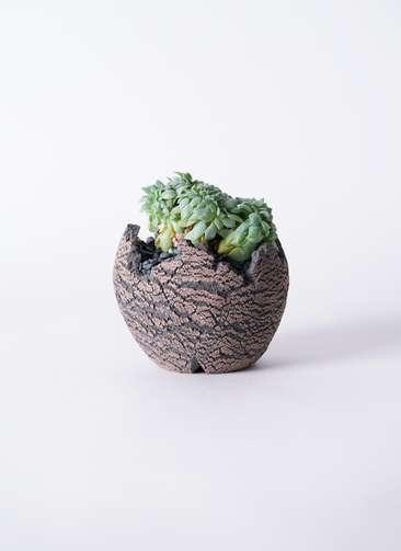 多肉植物 エケベリア セクンダ綴化(てっか) 3号 Type01 fang 【S size】