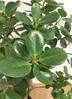 観葉植物 【95cm】パンダガジュマル 6号 #22584 3枚目