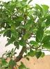 観葉植物 【60cm】ガジュマル 6号 曲り #22585 3枚目