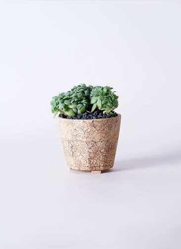 多肉植物 エケベリア セクンダ綴化(てっか) 3号 Type02 desert #β 【M size】