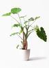 観葉植物 クワズイモ 10号 ラスターポット 付き