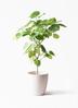 観葉植物 フィカス ウンベラータ 8号 ノーマル ラスターポット 付き