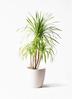 観葉植物 ドラセナ カンボジアーナ 8号 ラスターポット 付き
