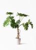 観葉植物 セローム ヒトデカズラ 8号 根あがり ラスターポット 付き