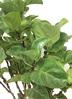 観葉植物 【175cm】カシワバゴム 10号 #22608 4枚目