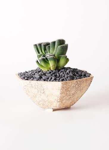 多肉植物 ハオルチア トルンカータ 玉扇(ぎょくせん) 4号 Type02 desert #δ 【L size】