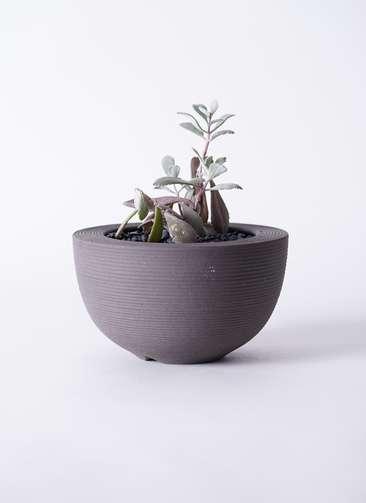 多肉植物 カランコエ プミラ 白銀の舞(はくぎんのまい) 3号 Hemisphere 【L size】