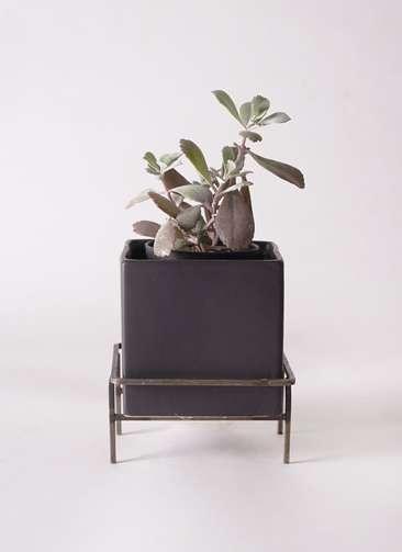 多肉植物 カランコエ プミラ 白銀の舞(はくぎんのまい) 3号 Iron Stand Pot C5303 付き