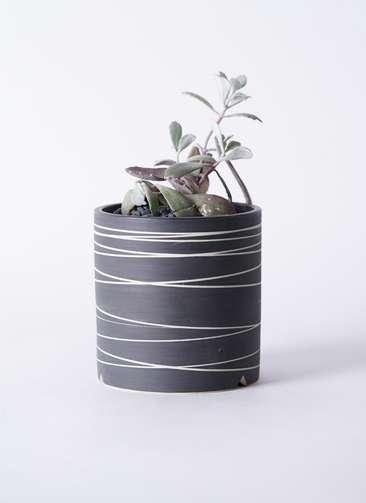 多肉植物 カランコエ プミラ 白銀の舞(はくぎんのまい) 3号 Kross 【L size】