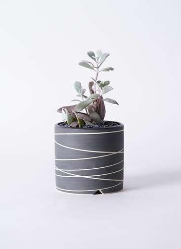 多肉植物 カランコエ プミラ 白銀の舞(はくぎんのまい) 3号 Kross 【M size】