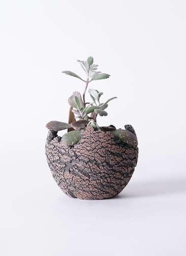 多肉植物 カランコエ プミラ 白銀の舞(はくぎんのまい) 3号 Type01 fang 【S size】