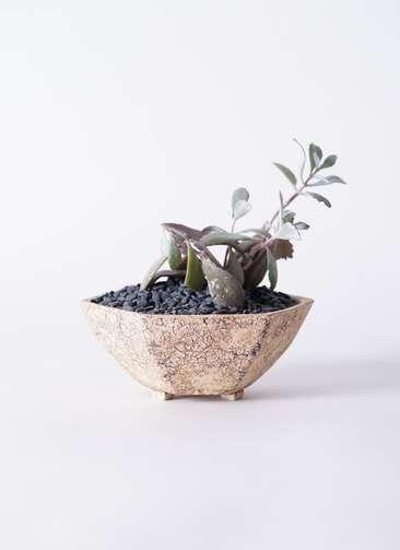 多肉植物 カランコエ プミラ 白銀の舞(はくぎんのまい) 3号 Type02 desert #β 【M size】