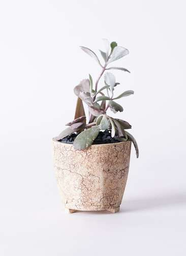 多肉植物 カランコエ プミラ 白銀の舞(はくぎんのまい) 3号 Type02 desert #β 【S size】