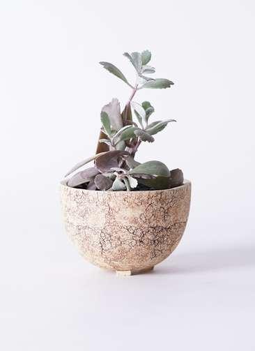 多肉植物 カランコエ プミラ 白銀の舞(はくぎんのまい) 3号 Type02 desert #γ 【S size】
