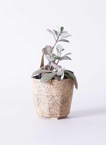 多肉植物 カランコエ プミラ 白銀の舞(はくぎんのまい) 3号 Type02 desert #δ 【M size】