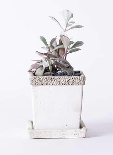 多肉植物 カランコエ プミラ 白銀の舞(はくぎんのまい) 3号 リト キューブ3号 受け皿付き