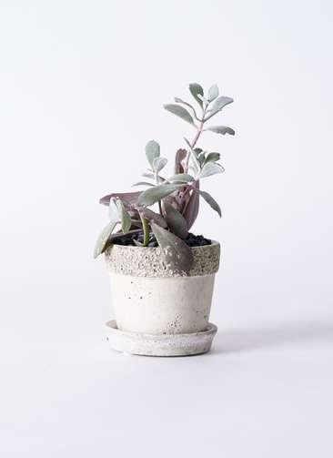 多肉植物 カランコエ プミラ 白銀の舞(はくぎんのまい) 3号 リト ラウンド3号 受け皿付き