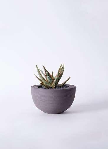 多肉植物 アロエ フラミンゴ 3号 Hemisphere 【L size】