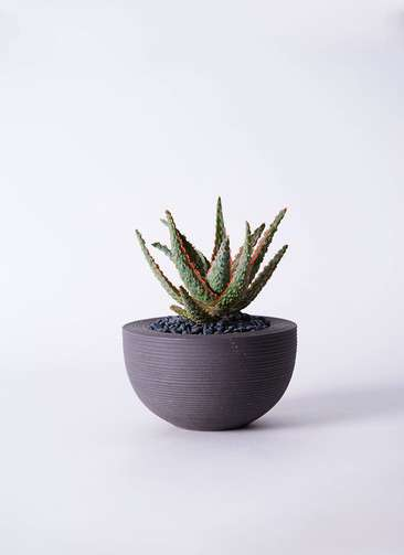 多肉植物 アロエ フラミンゴ 3号 Hemisphere 【M size】