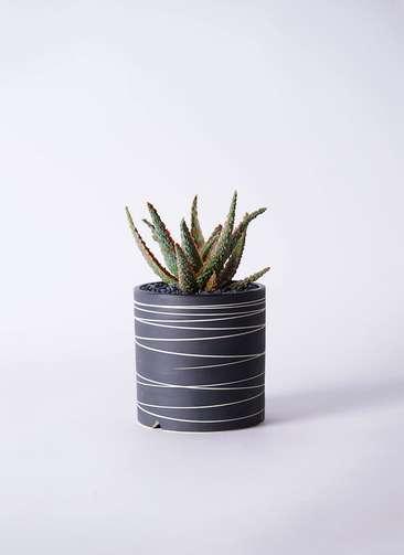 多肉植物 アロエ フラミンゴ 3号 Kross 【L size】