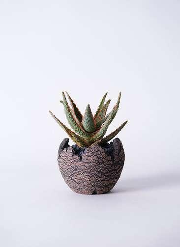 多肉植物 アロエ フラミンゴ 3号 Type01 fang 【S size】