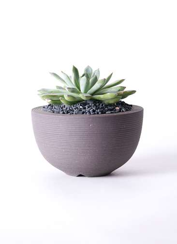 多肉植物 エケベリア プリドニス 5号 Hemisphere 【L size】