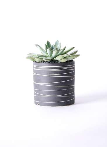 多肉植物 エケベリア プリドニス 5号 Kross 【L size】