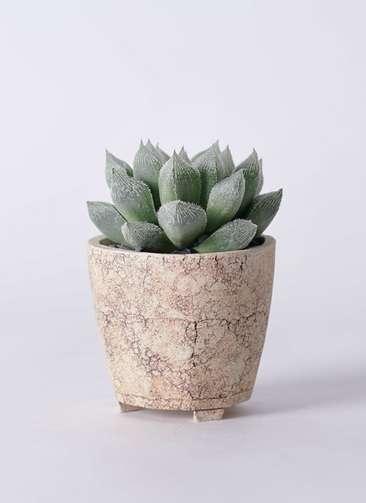 多肉植物 ハオルチア ベヌスタ 3号 Type02 desert #β 【S size】