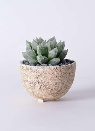 多肉植物 ハオルチア ベヌスタ 3号 Type02 desert #γ 【S size】
