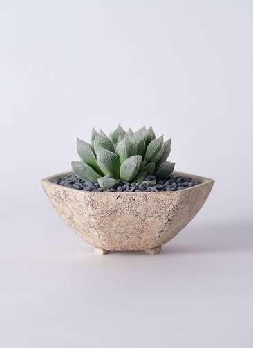 多肉植物 ハオルチア ベヌスタ 3号 Type02 desert #δ 【L size】
