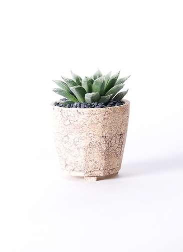 多肉植物 ハオルチア ボルシー 3号 Type02 desert #β 【M size】