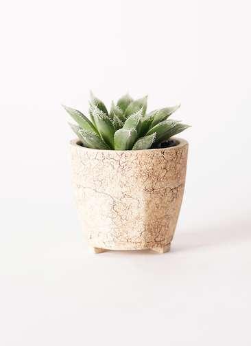 多肉植物 ハオルチア ボルシー 3号 Type02 desert #β 【S size】