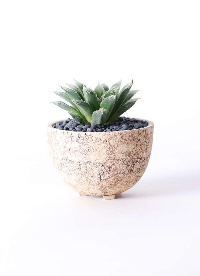 多肉植物 ハオルチア ボルシー 3号 Type02 desert #γ 【S size】