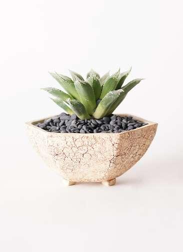 多肉植物 ハオルチア ボルシー 3号 Type02 desert #δ 【M size】
